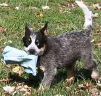 Australian Cattle Dog Rescue of Illinois Adoption Heelers